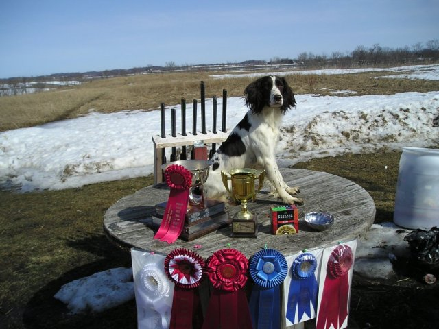 Upland Meadows Cute as a Button exceptional field bred english springer spaniel